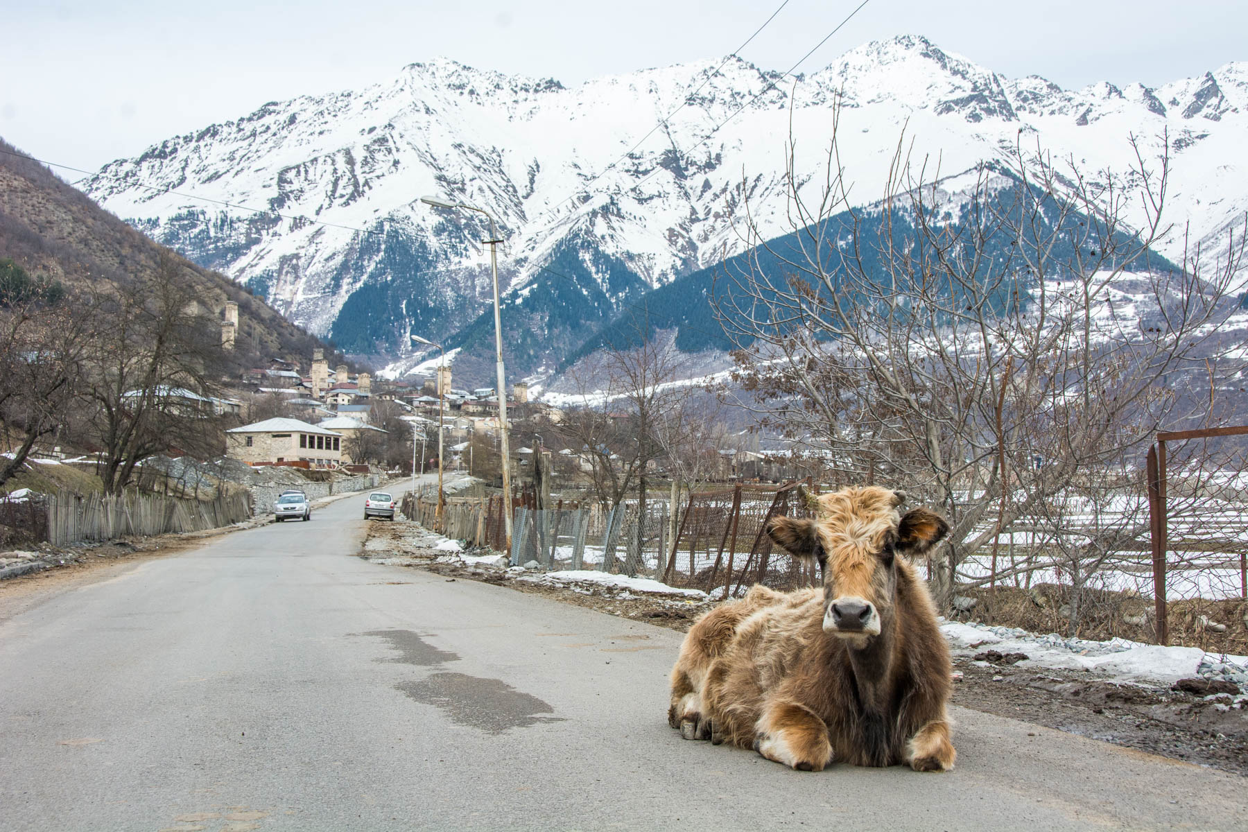 Cow sitting on road in Mestia, a town in Svaneti, Georgia