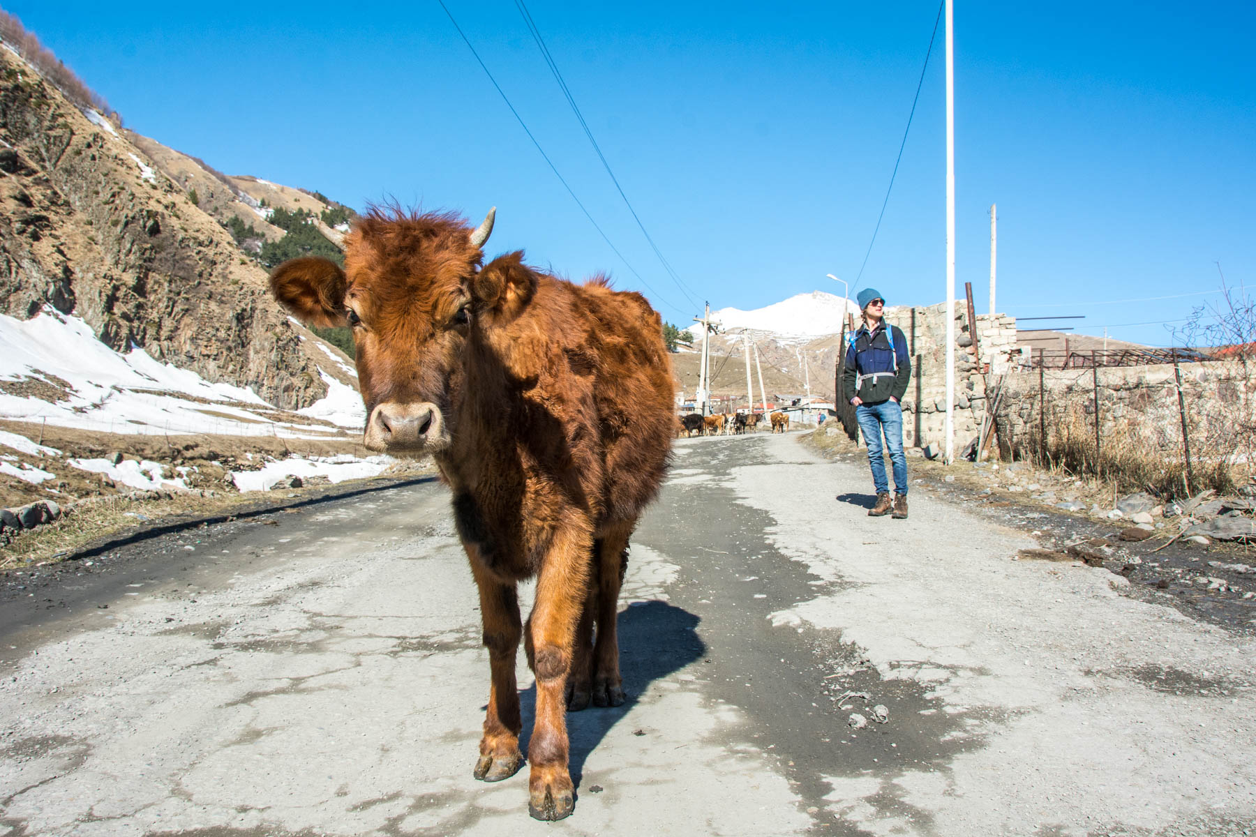 Cow on the streets of Kazbegi near Gergeti in Georgia