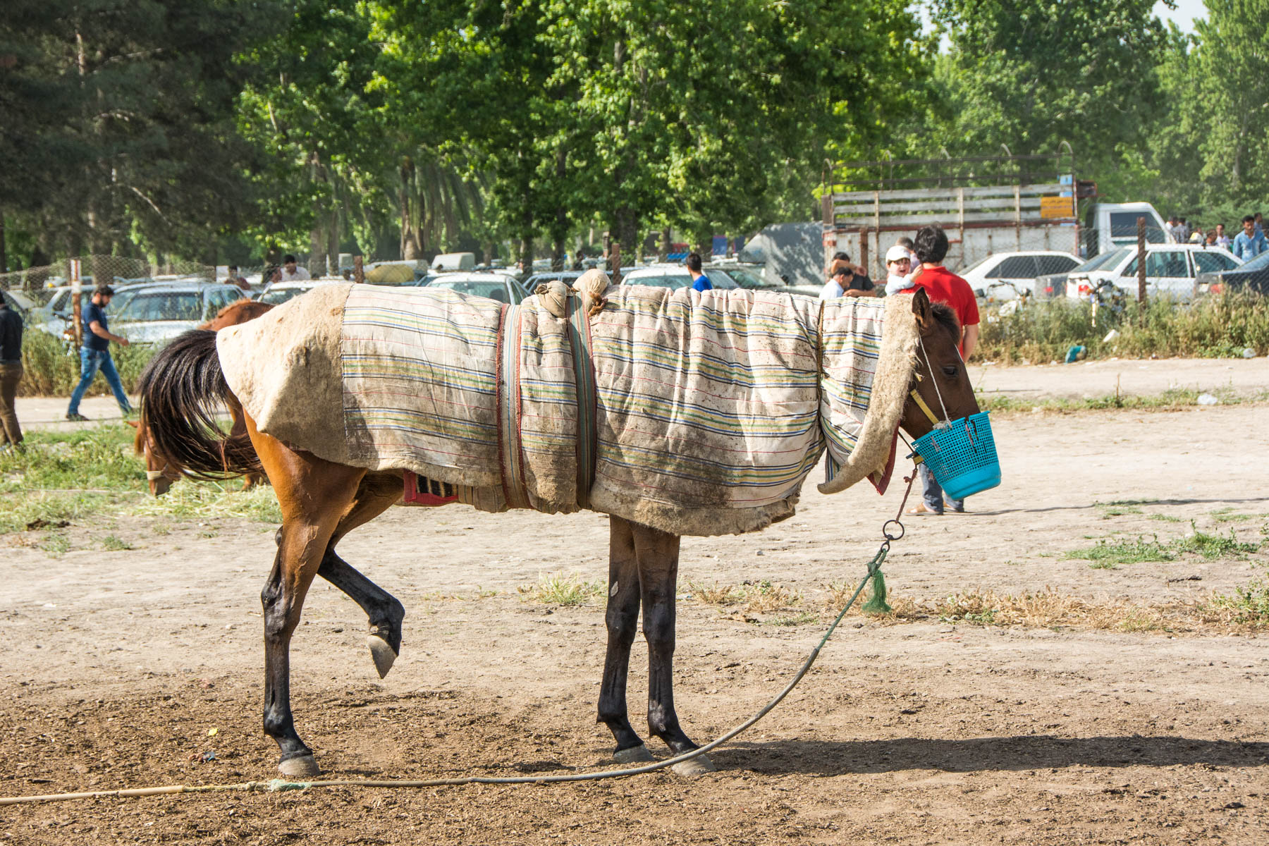 A horse tied to the ground at the hippodrome in Gonbad-e Kavus, Iran