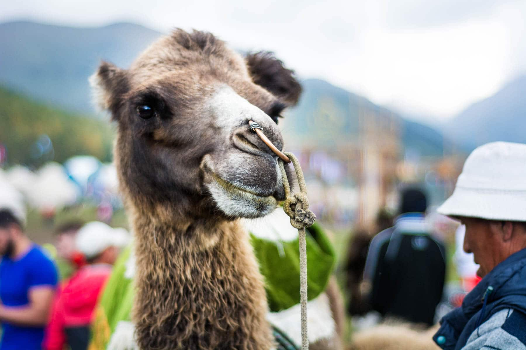 Camel at the 2016 World Nomad Games - Are the 2018 World Nomad Games worth the trip? - Lost With Purpose